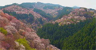 00006628-japan-cherry-blossoms-01-320
